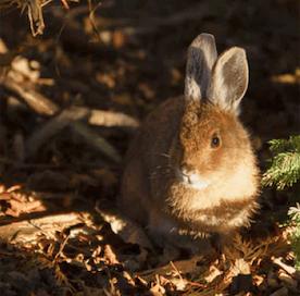 Kaninchen auf Waldboden
