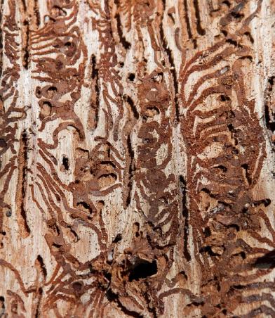 Von Schädlingen zerfressener Baumstamm