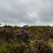 Heide vor grauem Himmel