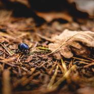 Käfer auf Waldboden