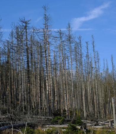 Geschädigter Wald vor blauem Himmel